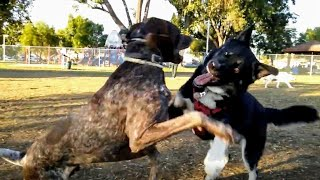 Owner Removes Their Dog When Battle Gets Too Intense At Dog Park