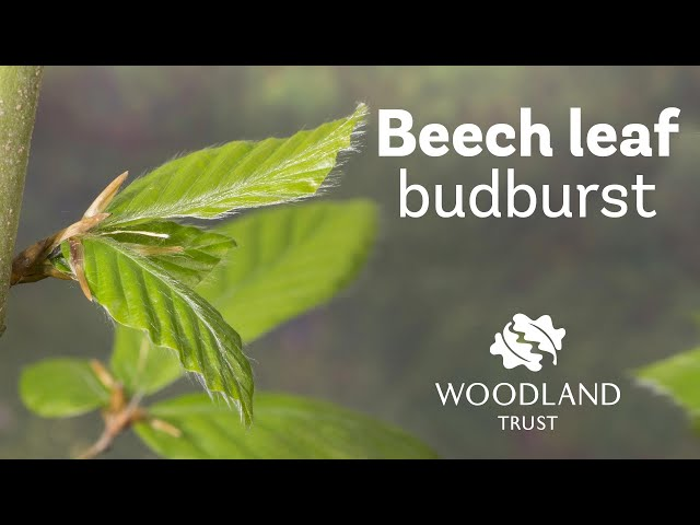 Beech leaf budding Timelapse | Woodland Trust