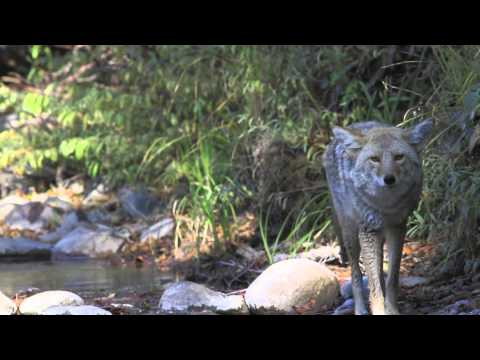 Coyote Attack in Yellowstone HD 1080p.mov