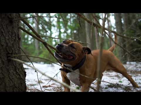 Your dog love's you! Staffordshire Bull Terrier Life