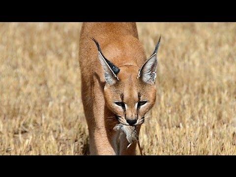 Desert Lynx Caracal Youtube