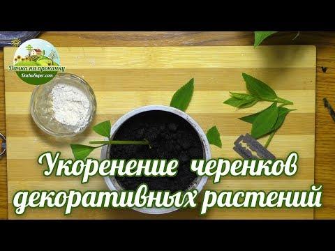 Укоренение черенков декоративных растений