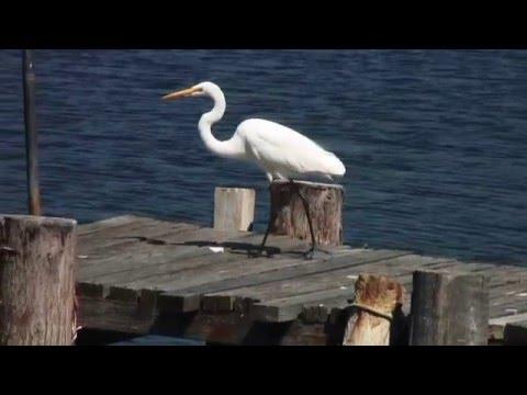 Exotic Birds - Great White Egret