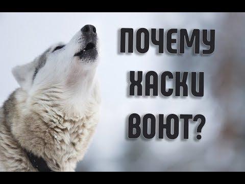 Вопрос: Почему некоторые породы собак не умеют лаять?