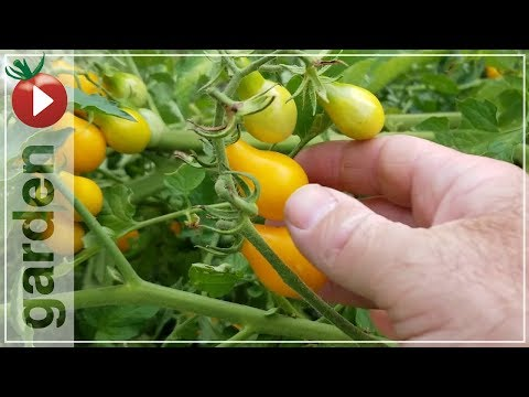 Harvesting Yellow Pear Tomatoes - Join Me In The Garden