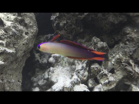 Purple/Elegant Firefish - Nemateleotris Decora In Aquarium - HD