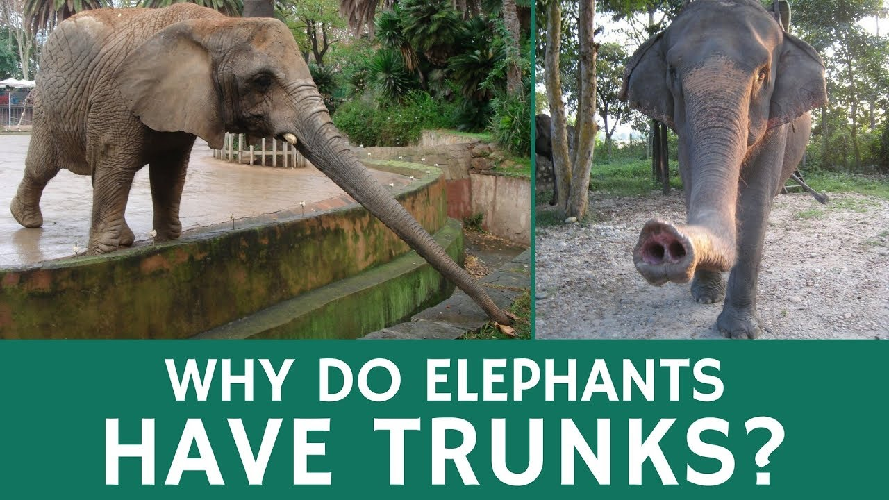 Why Elephants Have Trunks and Awesome Things They Can Be Used For