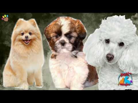 Apartman dairelerinde bakılabilecek en popüler köpek ırkları: Poodle, Morkie ve Pomeranian – Bölüm 1