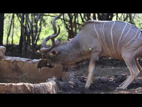 Bow Hunt Africa With FFF Safaris. Big Kudu And Other Plains Game Bowhunting  #bowhunting