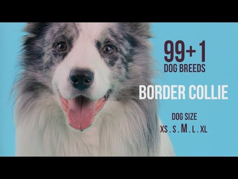 Border Collie / 99+1 Dog Breeds