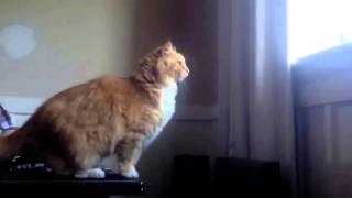 Cat Jump Fail Is Short But Oh So Sweet VIDEO