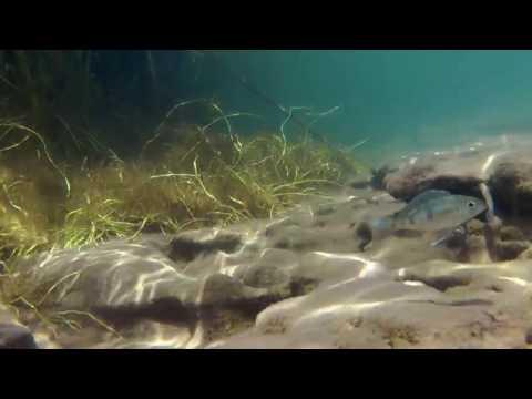 Reeds and silt environment - Lake Tanganyika