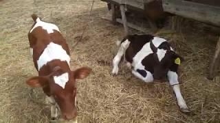 Какую прибыль получил от быка. Расход кормов.