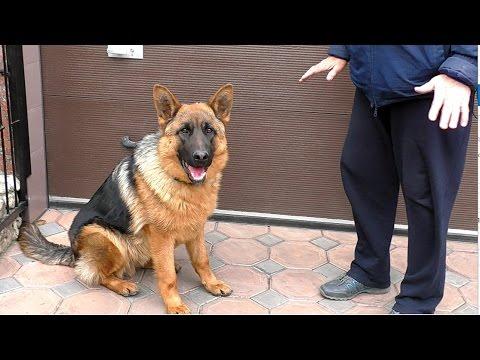 Неудержимый Амир. Щенок Немецкой овчарки 8 месяцев. Irresistible Amir. Puppy German Shepherd.