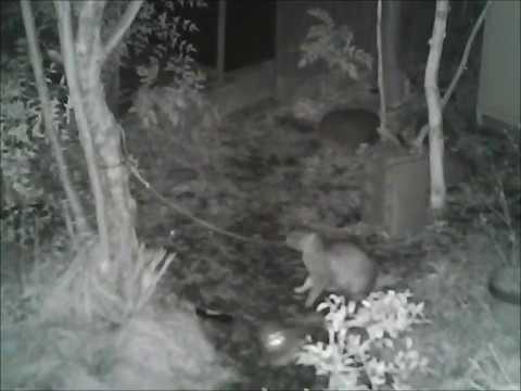 植木鉢と紐で野良猫を捕まえてみた☆二匹目