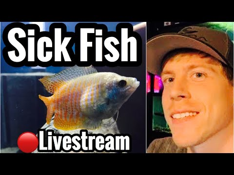 Bloated Swollen Gourami? Sick Fish & Disease Livestream