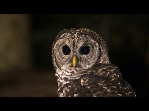 Barred Owl Hunting At Night