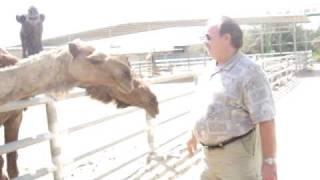 MOV00075 _Jack Fearing WafraFarms visit- Camel