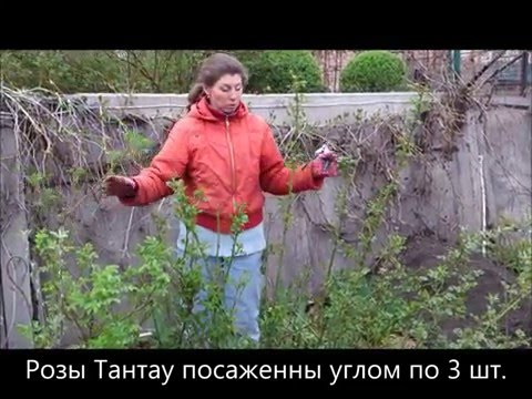 Чем обработать и как обрезать розы весной после снятия зимнего укрытия. 21 Весна.