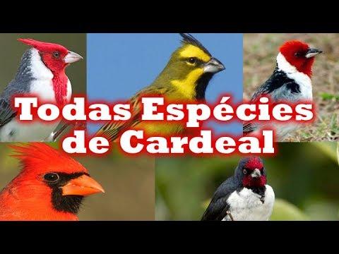 Todas Espécies de Cardeal (  Galo de Campinas )