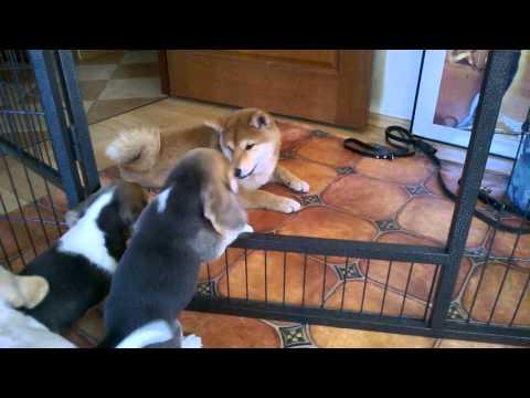Beagle puppy & shiba inu