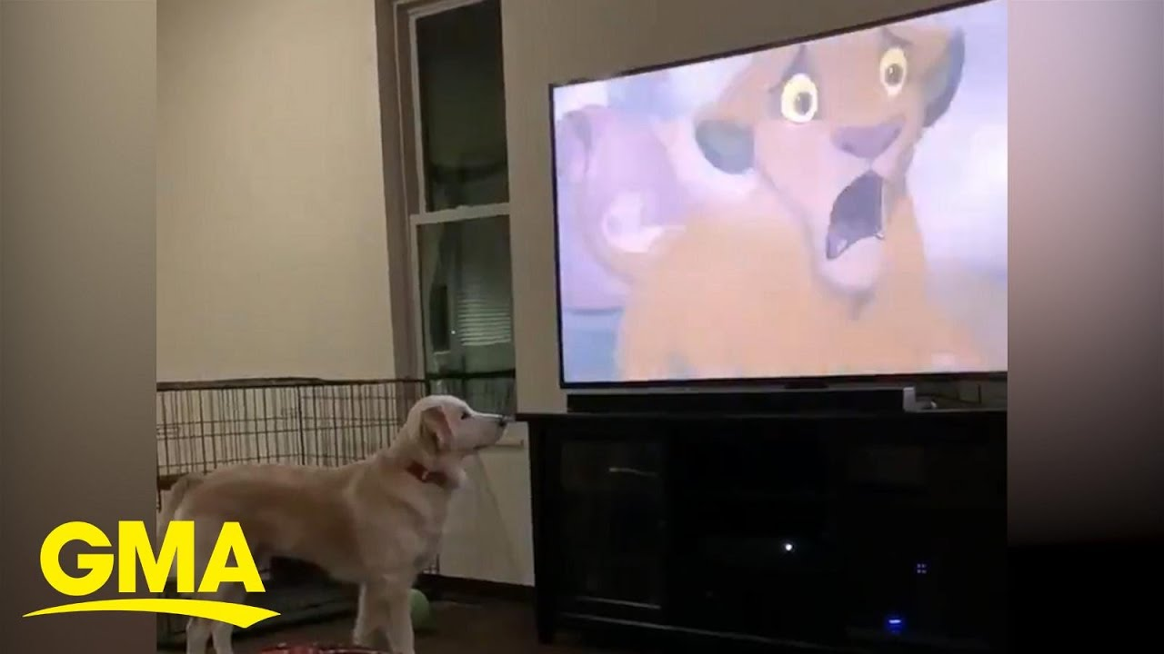 Dog is adorably concerned by Mufasa's death in 'The Lion King' l GMA Digital