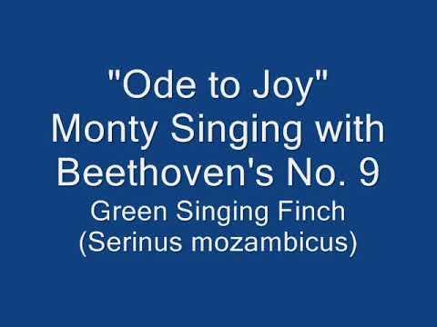 Пение мозамбикского вьюрка