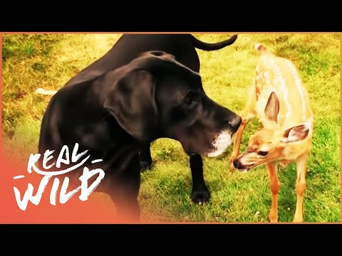 Kate The Dog Adopts Pippin The Baby Deer | Wild Things