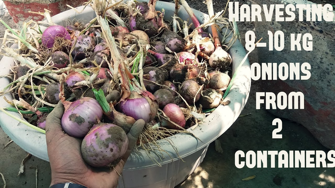 Harvesting Tons Of Onions From 2 Containers