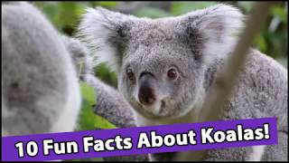 10 Fun Facts About Koalas