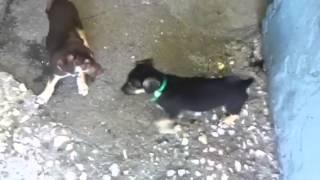 Zod N Temper Rottweiler/shepherd/lab Mix 9 Weeks Old