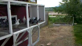 First Time Flying Racing Pigeons 2011 Young Birds