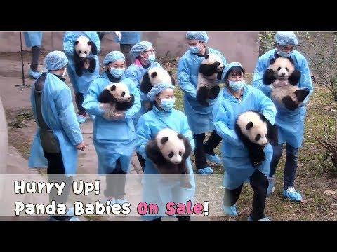 Hurry Up! Panda Babies Are On Sale! | IPanda