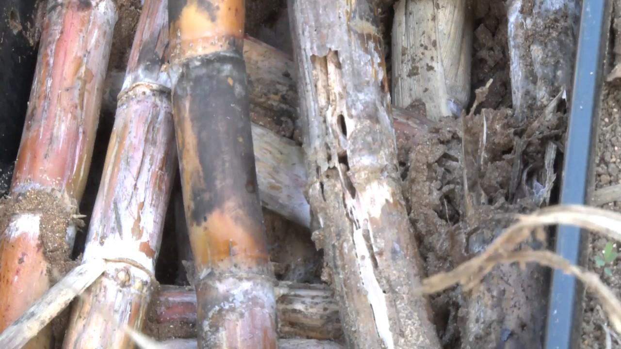 Damage of Sugarcane Termite