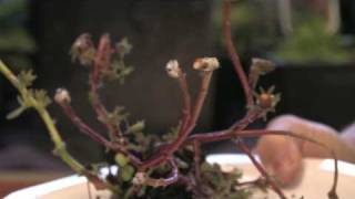 Flower Gardening Tips : How to Grow Moss Rose (Portulaca grandiflora)