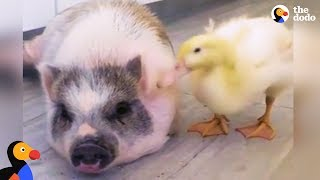 Rambunctious Rescue Pig Adopts Duckling | The Dodo Odd Couples