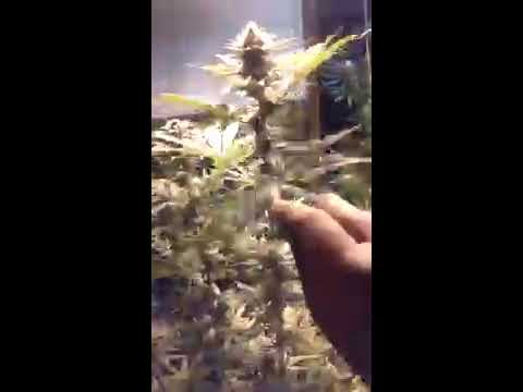 Day35 of flower BC bud depot God bud
