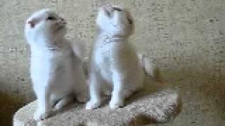 Белые вислоухие котята (котик и кошечка)