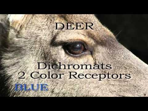 What Colors Can Whitetail Deer Really See?