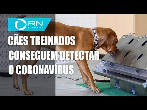 Cães são treinados para detectar coronavírus em saliva