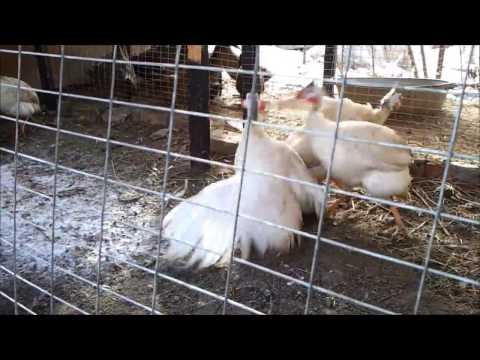 Цесарки - полезные и опасные свойства мяса цесарок
