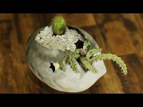 Como plantar Huernia Schneideriana ou Flor do Dragão Vermelho