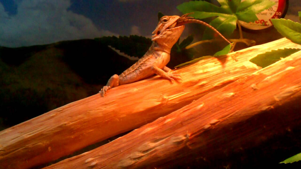 Baby Bearded Dragon Eating A Blue Belly Lizard Youtube