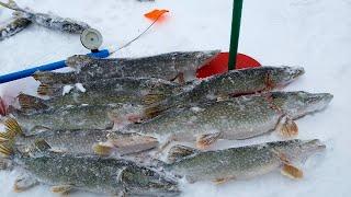 Сколько же ЩУКИ в этой РЕЧКЕ КЛЮЁТ ОДНА ЗА ОДНОЙ Рыбалка на ЖЕРЛИЦЫ 2020 Окунь на балансир