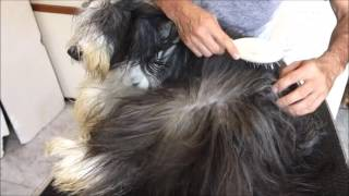 Bearded Collie Gremontree  Vouge & Joseph Grooming