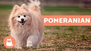 All about the Pomeranian - Characteristics and care