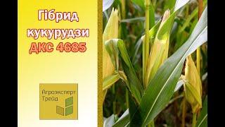 Кукуруза ДКС 4685 🌽 - описание гибрида 🌽, семена в Украине