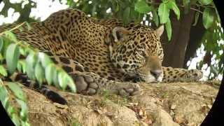 Jaguar - Panthera onca - Onça pintada 2nd male - Pantanal, Brazil