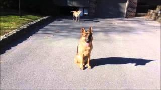 Heavy Distraction Pushups! German Shepherd; Pittsburgh Dog Obedience