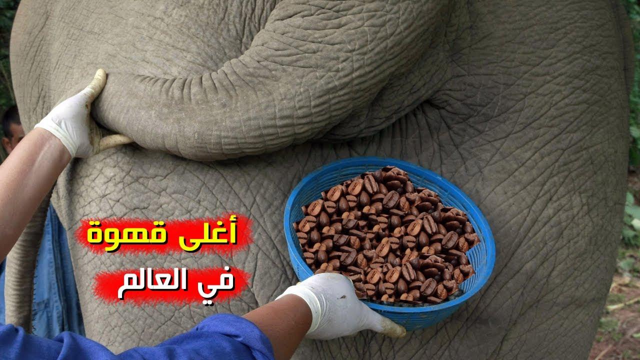 أغلى قهوة في العالم مصنوعة من براز الفيل Youtube